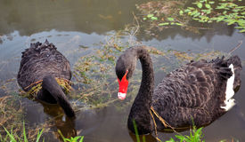 Swans. A couple of black swans on a lake, a river Stock Photo