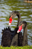 Couple black swans Royalty Free Stock Image