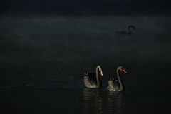 COUPLE BLACK SWANS Stock Photography
