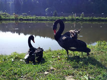 Swans. Couple of black swans on the shore of a lake, a river Royalty Free Stock Photography