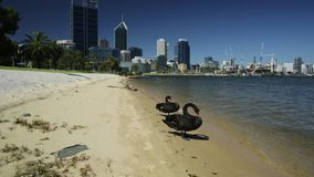 Couple of Black Swans. On the Swan River in Perth Bay. In the background Perth Downtown with its modern skyscrapers, Western Australia. Summer season in a stock video