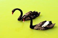 Couple Black Swans swim in the yellow lake. Couple Black Swans swim in the yellow water lake royalty free stock photos