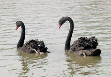 Couple black swans swimming Royalty Free Stock Photography