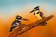 Couple black and white Pied Kingfisher sitting in the branch during sunrice with nice light Stock Photography