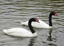 Couple of  black and white swans swiming Stock Image
