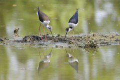 Couple of black-winged stilt, himantopus himantopus Stock Images