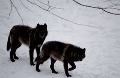 Couple of black wolf in the snow-Stock Photos Royalty Free Stock Image