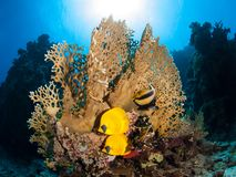 Couple of blue-cheeked butterflyfish in front of a fire coral royalty free stock photo