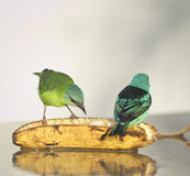 Couple Blue Dacnis Stock Images