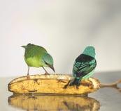 Couple Blue Dacnis Stock Images