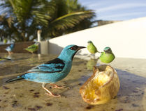 Couple Blue Dacnis Royalty Free Stock Image