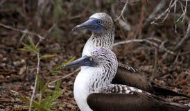 Couple of Blue Footed Boobies, Isla de la Plata, Ecuador. La Plata island is home for rare colored birds, blue-footed boodies Stock Photography