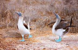 Blue footed booby mating dance. Couple of blue footed boobies performing mating dance royalty free stock photo