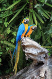 A couple of blue macaws on a tree stump. A couple of blue macaws are sitting on a dead wood in the bush between green plants Royalty Free Stock Photography
