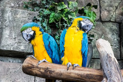 Couple blue-yellow parrots sit on a branch. Royalty Free Stock Photos