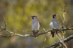 Couple of Bohemian waxwing standing on a branch Royalty Free Stock Photos