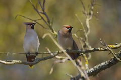 Couple of Bohemian waxwing standing on a branch Stock Photo