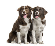 Couple of Border Collie isolated on white Stock Photos
