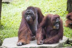 Couple of Borneo orangutan Pongo pygmaeus Royalty Free Stock Images