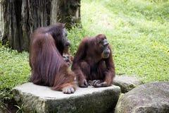 A couple of Borneo orangutan Pongo pygmaeus Stock Photos