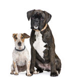 Couple of a Boxer and a crossbreed dog Royalty Free Stock Photos