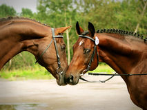Couple of breed trakehner. Outdoor cloudy day Stock Photo