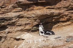 A couple of breeding african penguins namibia africa.  Stock Image