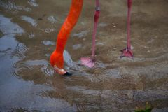 A couple of bright red flamingo birds Phoenicopterus ruber in love Stock Image