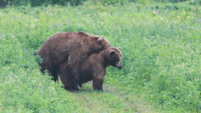 Couple brown bears stock video footage