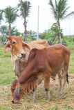 Couple brown cows. In the farm royalty free stock photography