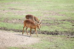 The couple of brown deer. Deer are grazing on the grasslands stock photos