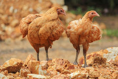 Couple brown hens on mound Stock Photography