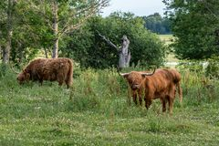 Couple of brown Highland Cattle grazing in a pasture. Two large Highland Cattle bulls with large horns grazing in a green field Stock Photos