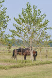 Couple of brown horses wearing fly mask Royalty Free Stock Photography