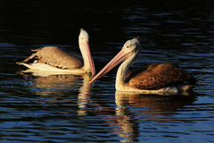 Couple brown pelican Stock Images