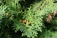 Couple of seed cones of Thuja occidentalis. Couple of brown seed cones of Thuja occidentalis Royalty Free Stock Images