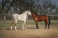 Couple of brown and white horses. Standing near each other and kissing Stock Photo