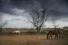 Couple of brown and white horses. Couple of brown and white horses standing outdoors near farm Stock Images