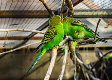 Couple of budgerigar parakeets sitting together on a branch, tropical colorful birds from Australia, Popular pets in aviculture. A couple of budgerigar parakeets stock photography