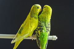 Couple of budgerigars. Green and yellow against the background of black Stock Images