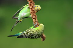 Couple of budgerigars Royalty Free Stock Photography