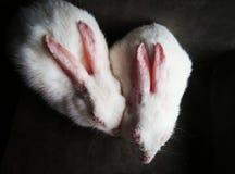 Couple Bunny Stock Photos