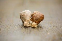 Couple of Burgundy snail Stock Photo
