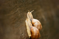 Couple of Burgundy snail Royalty Free Stock Photography