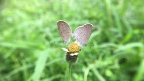 Couple butterflies in love. Closeup stock video footage