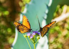 Couple Butterflies with Purple Flowers, cactus and Green Plants in Phoenix, Arizona stock photo
