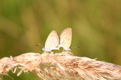 Couple of butterfly Royalty Free Stock Photo