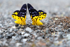 Couple butterfly. Two butterflies with a yellow and black wing, which are perched on the gravel in the confront Stock Photo