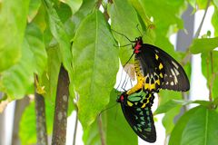 Couple of Cairns Birdwing Butterflies Royalty Free Stock Image