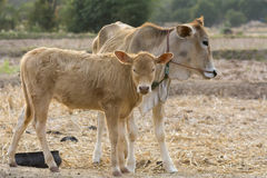Couple of calfs on dry country field. Background Royalty Free Stock Photography